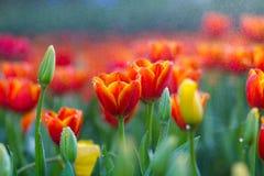 Tulpen im Regen lizenzfreie stockfotos