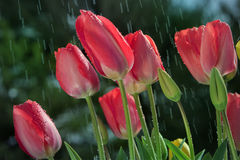 Tulpen im Regen Lizenzfreie Stockfotografie