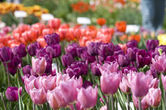 Tulpen im Rosa und im Purpur Stockbild