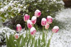 Tulpen im Schnee Lizenzfreies Stockfoto