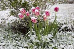 Tulpen im Schnee Stockfotos