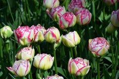 Tulpen in Keukenhof Royalty-vrije Stock Afbeeldingen