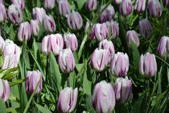 Tulpen in Keukenhof Stockfotografie
