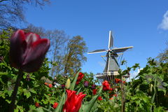 Tulpen in Keukenhof Royalty-vrije Stock Afbeelding