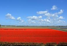 Tulpen in Keukenhof Stock Foto's