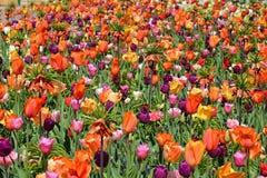 Tulpen in Keukenhof Stock Afbeelding