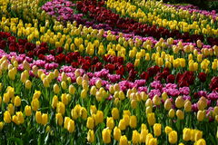 Tulpen in Keukenhof Royalty-vrije Stock Foto's