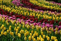 Tulpen in Keukenhof Lizenzfreie Stockfotos