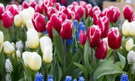 Tulpen in Keukenhof-park, Lisse nederland Stock Foto's