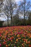 Tulpen in Keukenhof lizenzfreies stockbild