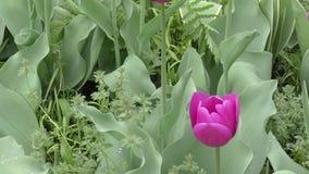 Tulpen lilac kleur na de regen stock footage