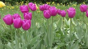 Tulpen lilac kleur na de regen stock videobeelden
