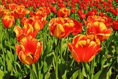 Tulpen Mening van rood met gele tulpenbloemen onder zonlicht De zomer of de lentegebiedsachtergrond Royalty-vrije Stock Afbeelding