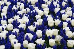 Tulpen met muscari Stock Fotografie