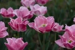 Tulpen met rand Stock Foto