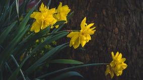 Tulpen met regendalingen Stock Afbeelding