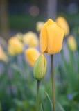 Tulpen met regendalingen Royalty-vrije Stock Foto's