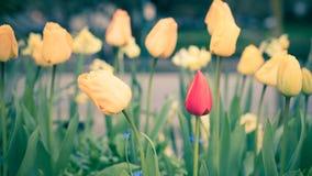 Tulpen met regendalingen Stock Afbeeldingen