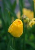 Tulpen met regendalingen Stock Foto
