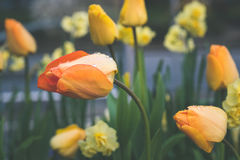 Tulpen met regendalingen Royalty-vrije Stock Foto