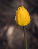 Tulpen met regendalingen Stock Fotografie