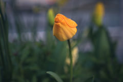 Tulpen met regendalingen Royalty-vrije Stock Fotografie