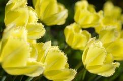 Tulpen met stroken Stock Foto