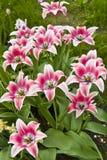 Tulpen mit den rosafarbenen und weißen Farben lizenzfreies stockfoto