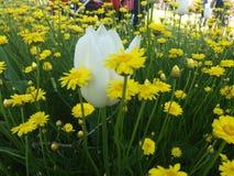 Tulpen mitten in gelben Blumen Stockfotografie