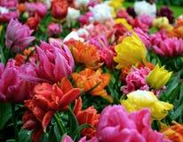 Tulpen na de regen stock afbeeldingen