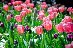Tulpen in Nashville Royalty-vrije Stock Foto