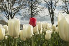 Tulpen in Nederland stock foto's