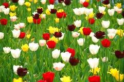 Tulpen, Nederland Stock Afbeeldingen