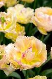 Tulpen in Nederland Stock Foto