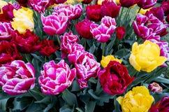 Tulpen in Nederland Royalty-vrije Stock Foto's