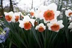 Tulpen in Nederland Royalty-vrije Stock Afbeeldingen