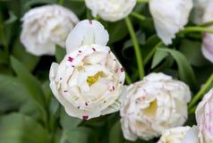 Tulpen in Nederland Stock Fotografie