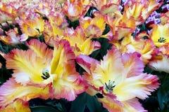 Tulpen in Nederland Stock Afbeeldingen