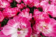 Tulpen in Nederland Stock Afbeelding