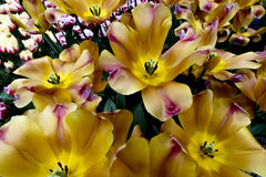 Tulpen in Nederland Royalty-vrije Stock Fotografie