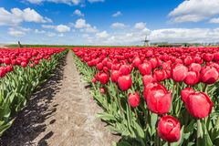Tulpen in Nord-Holland The Netherlands Europe Lizenzfreie Stockbilder