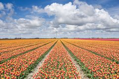 Tulpen in Nord-Holland The Netherlands Europe Lizenzfreies Stockbild