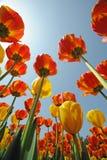 Tulpen onder blauwe hemel royalty-vrije stock foto