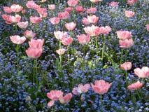 Tulpen onder kleine blauwe bloemen Royalty-vrije Stock Afbeelding