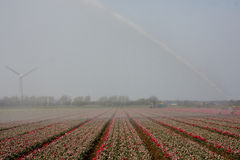 Tulpen onder water Royalty-vrije Stock Foto