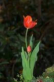 Tulpen op aardachtergrond Stock Afbeeldingen