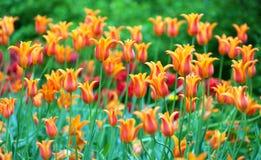 Tulpen op de achtergrond van de bloeilente Royalty-vrije Stock Foto