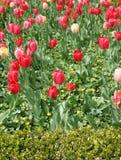 Tulpen op een gebied Stock Foto