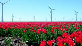 Tulpen op een gebied tijdens een mooie de lentedag stock video