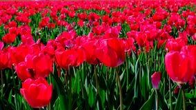 Tulpen op een gebied tijdens een mooie de lentedag stock videobeelden